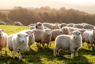 Sheep in a pasture